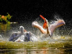 Pelícanos batiendo las alas en el agua