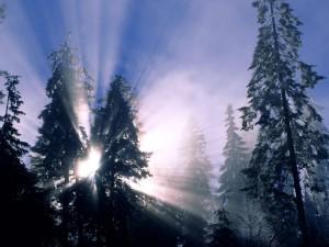 Sol entre los pinos