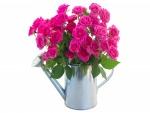 Rosas de color rosa en una regadera