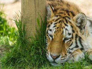 Tigre dormitando junto a un tronco de árbol