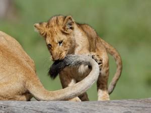 Cachorro de león jugando con la cola de su mamá