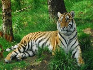 Tigre sentado sobre la hierba verde