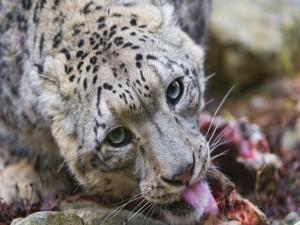 Leopardo de las nieves sacando la lengua