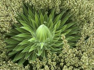 Una suculenta rodeada de flores
