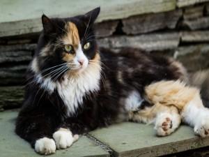 Gato tricolor sentado sobre una piedra