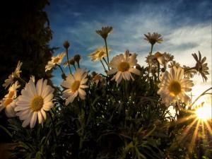 Margaritas iluminadas por los rayos del sol