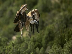 Buitre en pleno vuelo