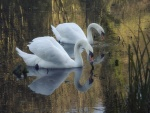 Dos cisnes blancos en una charca