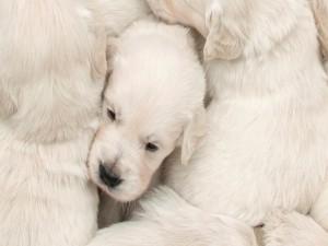 Tiernos cachorros blancos