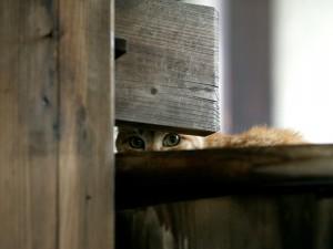 Gato observando entre la madera
