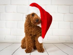 Perrito caniche con un gorro de Navidad