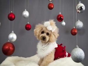 Caniche glamurosa lista para Navidad