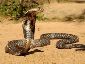 Una hermosa cobra