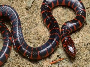 Interesante y peligrosa serpiente
