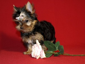 Perro Yorkshire terrier junto a una rosa