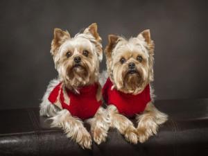 Dos bellos perros con un abrigo rojo