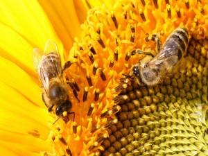 Abejas libando el néctar de un girasol