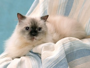 Gato sobre unas cortinas