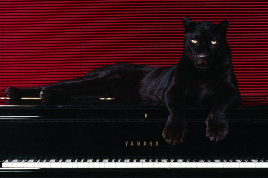 Pantera sobre un piano