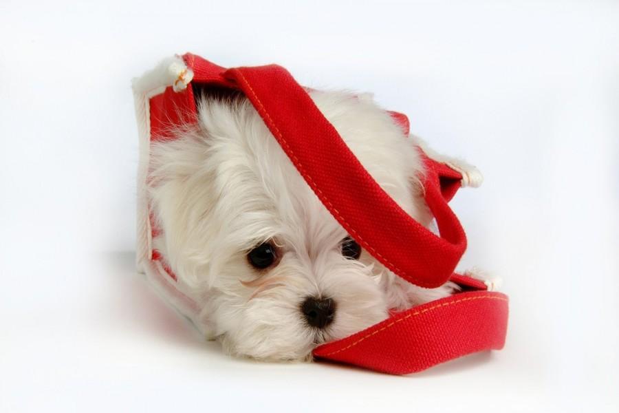 Hermoso perrito blanco dentro de un bolso