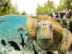 Tortugas marinas habitantes de las cálidas aguas tropicales