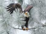 Águila posada en una rama de abeto cubierta de nieve