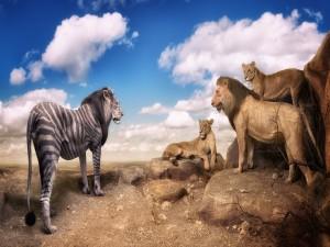 Insólito león junto a otros leones