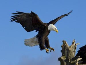 La belleza de un águila con sus uñas afiladas