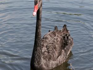 Esbelto cisne con plumas negras y pico rojo