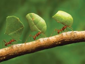 Hormigas transportando hojas