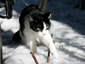 Gato caminando por la fría nieve