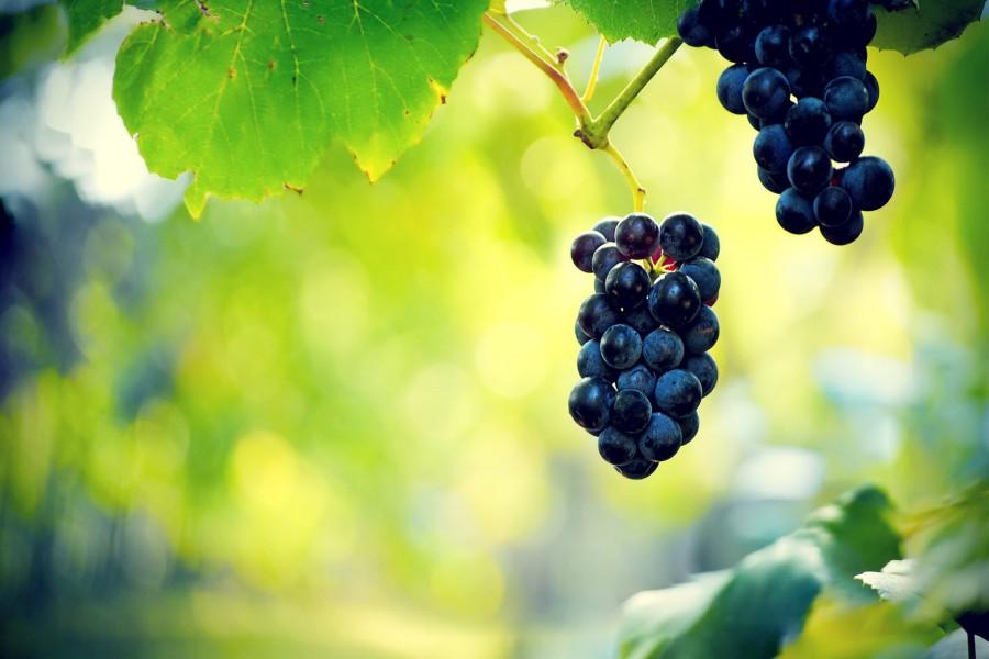 Uvas negras en la parra