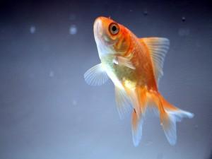 Pez naranja nadando hacia la superficie