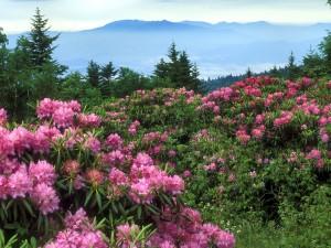 Hermosas flores rosas en las plantas