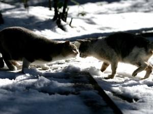 Dos gatos en la nieve