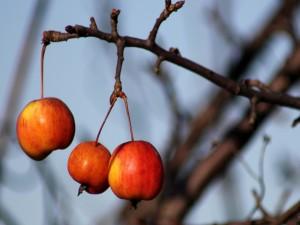 Manzanas colgadas de una rama