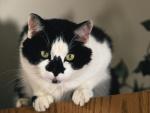 Un hermoso gato con manchas negras