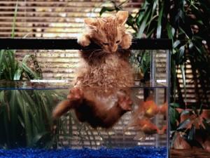 Gato saliendo de la pecera