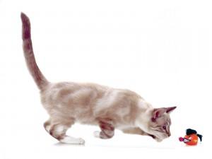 Gato observando un juguete
