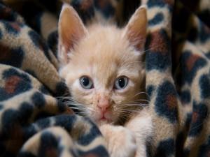 Gatito envuelto en una manta