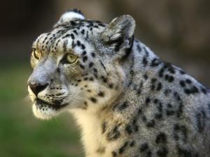 Hermoso leopardo de las nieves