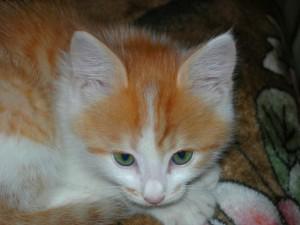 Un gatito blanco y naranja