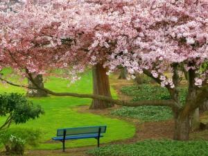 Cerezos en flor en un parque