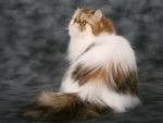 Gato con un gran pelaje
