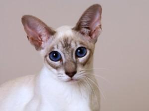 Los grandes ojos azules de un gato