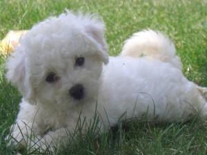 Bello perrito blanco sobre la hierba