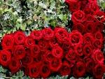 Rosas rojas en un jardín formando un corazón