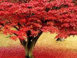 Hermoso arce en otoño