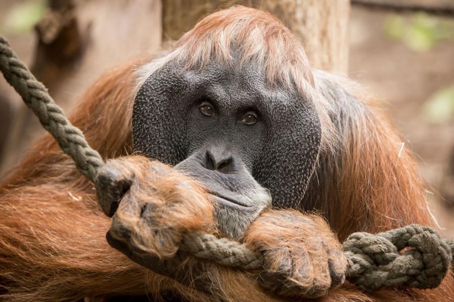 Orangután sosteniendo una cuerda