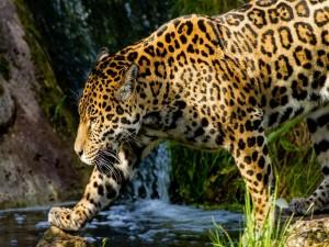 Jaguar caminando junto al río